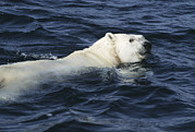 Polar Bear (ursus Maritimus) Posters - Polar Bear Swimming Poster by Doug Allan