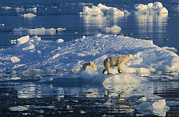 Environmental Issue Art - Polar Bear Ursus Maritimus Adult by Rinie Van Meurs