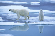 Ice-floe Posters - Polar Bear Ursus Maritimus Pair On Ice Poster by Rinie Van Meurs