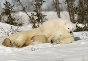 Winter Sleep Photos - Polar Bear With Cub In Snow by Robert Brown