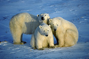 Polar Bear (ursus Maritimus) Posters - Polar Bear with Cubs Poster by Francois Gohier and Photo Researchers