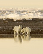 Polar Bears Framed Prints - Polar Bears By Steve Hillebrand Framed Print by Pg Reproductions