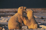 Polar Bear (ursus Maritimus) Prints - Polar Bears Print by Doug Allan