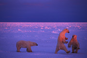 Polar Bear (ursus Maritimus) Posters - Polar Bears Frolic In The Snow Poster by Nick Norman