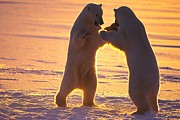 Sparring Prints - Polar Bears Play Sparring At Twilight Print by Paul Nicklen