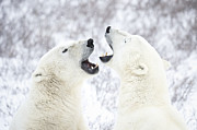 Face In Profile Prints - Polar Bears Playing In The Snow Print by Chris Hendrickson