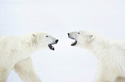 Face In Profile Prints - Polar Bears Standing On Snow After Playing Print by Chris Hendrickson