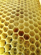 Honeycomb Framed Prints - Pollen In Wax Honeycomb Cells Framed Print by Cordelia Molloy