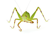 Katydid Framed Prints - Pollen Katydid Cleaning Foot La Selva Framed Print by Piotr Naskrecki