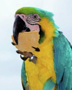 Wild Parrots Posters - Polly Wanna Cracker Poster by Karen Wiles