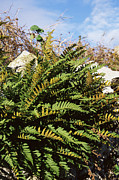 Kingston Prints - Polypody Fern (polypodium Vulgare) Print by Adrian T Sumner