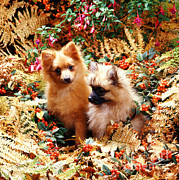 Puppies Photo Framed Prints - Pomaranian Puppies In Autumn Framed Print by Jane Burton