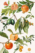 Persimmon Framed Prints - Pomegranate and other fruit Framed Print by Elizabeth Rice
