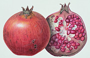 Tropical Fruit Paintings - Pomegranate by Margaret Ann Eden