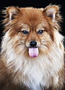 Sticking Out Prints - Pomeranian Dog Sticking Tongue Out Print by Evan Kafka