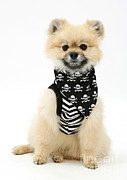 Dog Clothes Posters - Pomeranian Pirate Poster by Mark Taylor