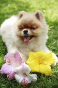 Friendly Puppy Posters - Pomeranian Puppy and Hibiscus Poster by Brandon Tabiolo - Printscapes