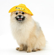 Sailor Hat Posters - Pomeranian Sailor Poster by Mark Taylor