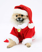 Dog Clothes Posters - Pomeranian Santa Poster by Mark Taylor