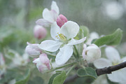 Floral Photography Photos - Pomme d Api 01 - s01bt01b by Variance Collections