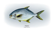 Game Fish Drawings Framed Prints - Pompano Framed Print by Ralph Martens
