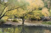 Central Park Prints - Pond And Autumn Trees In Central Park Print by Stacy Gold