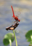 Dragonflies Photos - Pond Ballerina by Carol Groenen
