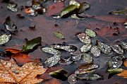 Nature Center Pond Prints - Pond Dew drops Print by LeeAnn McLaneGoetz McLaneGoetzStudioLLCcom