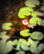 Lilly Pad Photos - Pond Flower by Perry Webster