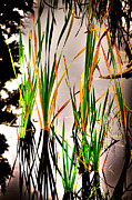 Greens Framed Prints - Pond Grasses Framed Print by David Patterson