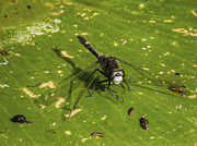 Dragon Fly Prints - Pond Life Print by Thomas Young