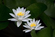 Nature Center Pond Prints - Pond lilies Print by Celine Pollard