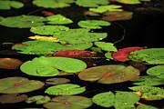 Pond Pads Print by Karol  Livote