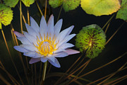 Pond Star Print by Robert Anschutz