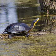 Nature Center Pond Prints - Pond Turtle basking in the sun Print by LeeAnn McLaneGoetz McLaneGoetzStudioLLCcom