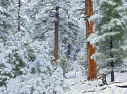 Pinaceae Framed Prints - Ponderosa Pine Forest In Snow Grand Framed Print by Tim Fitzharris