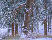 Pinaceae Framed Prints - Ponderosa Pine Trees After Fresh Framed Print by Tim Fitzharris