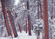 Pinaceae Framed Prints - Ponderosa Pine Trees With Snow Grand Framed Print by Tim Fitzharris