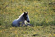 Pony Framed Prints - Pony in spring flowers Framed Print by Pierre Leclerc