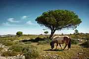 Pine Tree Posters - Pony Pasturing Poster by Carlos Caetano
