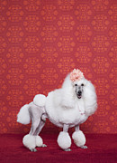 High Society Prints - Poodle (canis Lupus Familiaris Print by Catherine Ledner