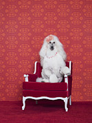 High Society Posters - Poodle (canis Lupus Familiaris) On Couch Poster by Catherine Ledner