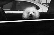 Pet Health Posters - Poodle in a Car Poster by Susan Isakson
