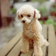 Attitude Photos - Poodle On The Wood Deck by Tsuneo Yamashita