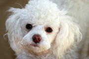 White Dogs Photos - Poodle Please by Joy Tudor