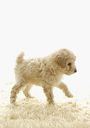 Dog Walking Prints - Poodle Puppy Print by Datacraft Co Ltd