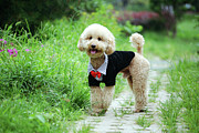 Panting Dog Posters - Poodle Wearing Suit Poster by Photography by Bobi