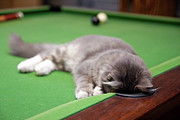 Domestic Animals Art - Pool Kitty by (c) Chris Gin