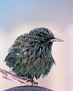 European Starling Metal Prints - Poor Decision Metal Print by Betty LaRue