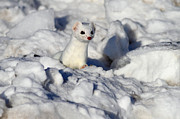 Ermine In Winter Posters - Pop Goes The Weasel Poster by Gary  Fairhead